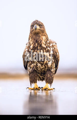 Juvenile White-tailed fish Eagle standing on a frozen lake looking puzzled, Kiskunsagi National Park, Hungary - Stock Image