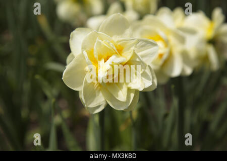 Selective focus on initial daffodil in series creates a leadership and first in series metaphor for fresh beginnings. - Stock Image