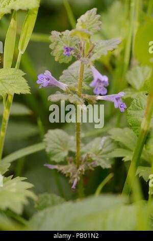 Glechomo hederacea, Ground Ivy flowers, Wales, UK. - Stock Image