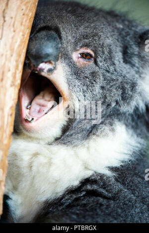 Cute Australian Koala in a tree resting during the day. - Stock Image