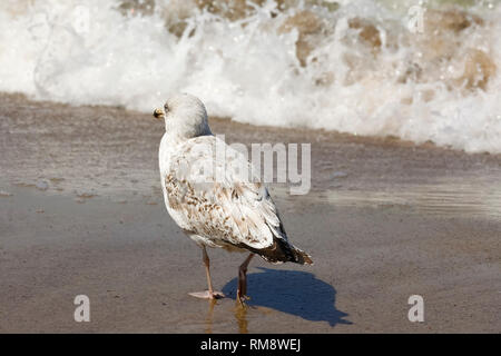 This seagull is going to go far ahead. It was noticed in Kolobrzeg on the sandy beach. - Stock Image
