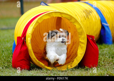 A dog exits a tunnel at the Agility Association of Canada's 2014 national dog agility championships at Sussex, New - Stock Image