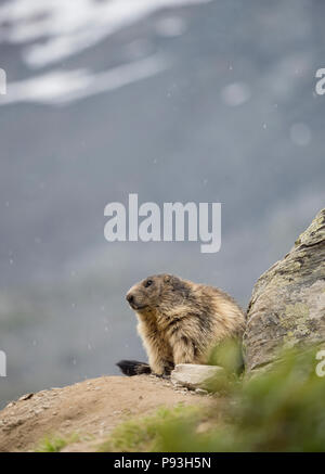 Lonely marmot at Saas-Fee - Stock Image