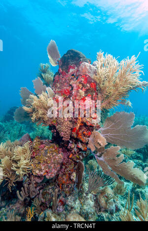 Coral garden in Caribbean off the coast of the island of Raotan - Stock Image