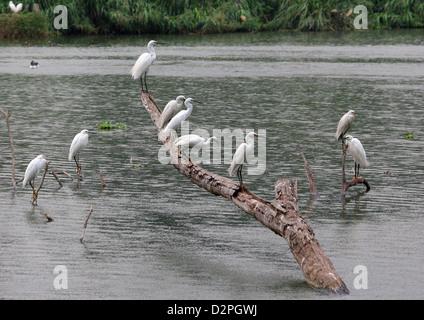 Dimorphic Egrets, Madagascar Herons, Egretta dimorpha, Ardeidae. White Morph. Tsarasaotra Park, Antananarivo, Madagascar. - Stock Image