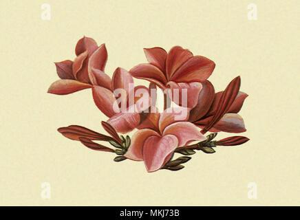 Plumeria Flore Rosea - Stock Image