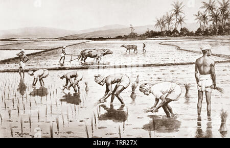 Setting out rice plants.  After a work by J. Macfarlane. From a contemporary print c.1935. - Stock Image