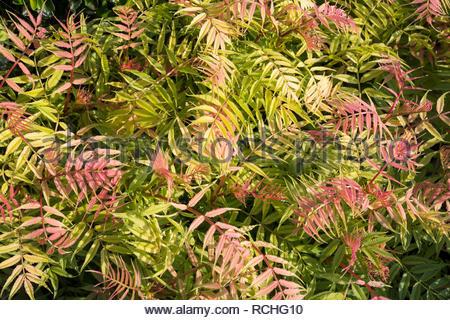 Background of Sobaria sorbifolia - variety is Sem - Stock Image