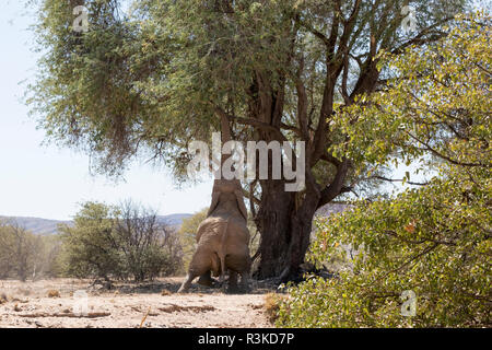 Africa, Namibia, Damaraland. African elephant reaching for tree leaves. Credit as: Wendy Kaveney / Jaynes Gallery / DanitaDelimont.com - Stock Image
