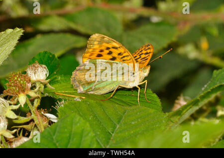 Silver-washed Fritillary,'Argynnis paphia', butterfly,woodlands,on blackberry leaf, July and August, Somerset, UK - Stock Image