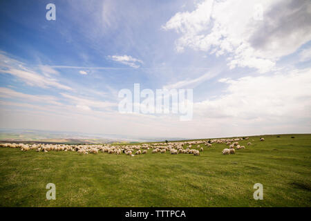 Flock of sheep grazing on landscape against cloudy sky - Stock Image