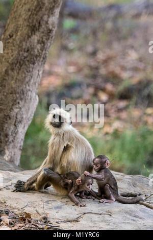 Family of Hanuman Langur Monkeys or Gray Langurs, Semnopithecus, Adult and two babies playing, pulling hair, Bandhavgarh - Stock Image
