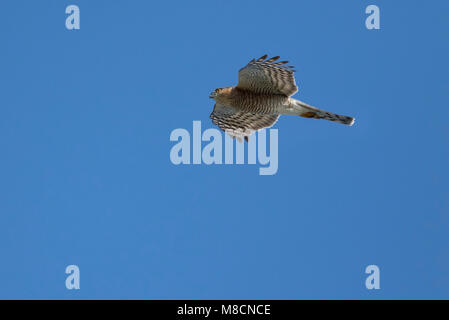 Eurasian Sparrowhawk (Accipiter nisus) flying - Stock Image
