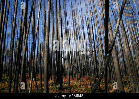 Burnt trees in the Kelowna region. - Stock Image