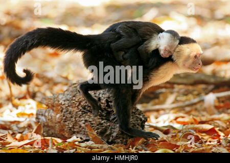 Female white-faced capuchin monkey (cebus capucinus) walking and carrying baby on back. Palo Verde National Park, - Stock Image