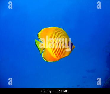 Masked Butterflyfish in the Blue. Marsa Alam, Egypt - Stock Image