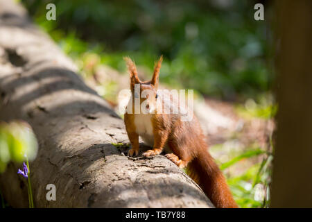 Detailed, close-up front view of wild, British red squirrel (Sciurus vulgaris) isolated, perched on log in sunny, spring, outdoor UK woodland habitat. - Stock Image