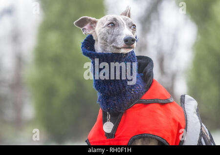 Mansfield Woodhouse, Nottinghamshire, England. 31st January 2019. UK Weather: Whippet dog wraps up with a scarf and jacket to keep warm on one of the coldest days this winter. Alan Beastall/ Alamy Live News - Stock Image