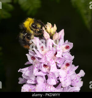 Early Bumble Bee pollenating Common Spotted Orchid - Stock Image