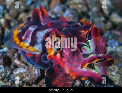 Supermacro image of escaping flamboyant cuttlefish (Metasepia pfefferi). Lembeh Straits, Indonesia. - Stock Image