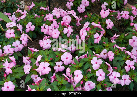 A Bed Of Pink Impatien Flowers - Stock Image