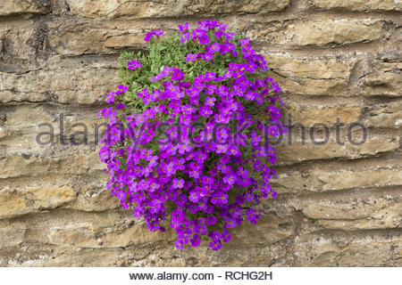 Purple aubretia growing in a brick or stone wall - Stock Image