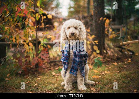 Portrait of poodle sitting on grassy field in backyard - Stock Image