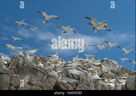 Flock of northern gannets( Morus bassanus) at nesting colony. Great Saltee island, co Wexford, Ireland. April. - Stock Image