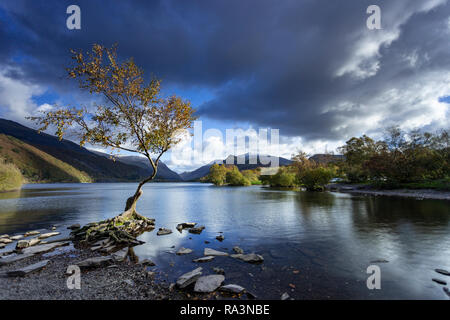 Lone tree at Llyn Padarn, Snowdonia, North Wales - Stock Image