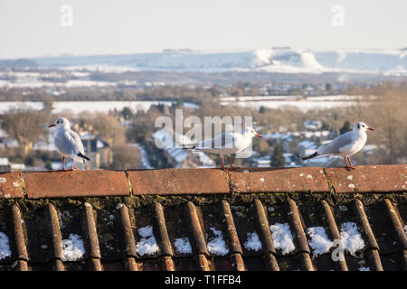 A red tile roof with 3 black headed gulls (Chroicocephalus ridibundus) in winter plumage with a snowy wintery wiltshire countryside background - Stock Image