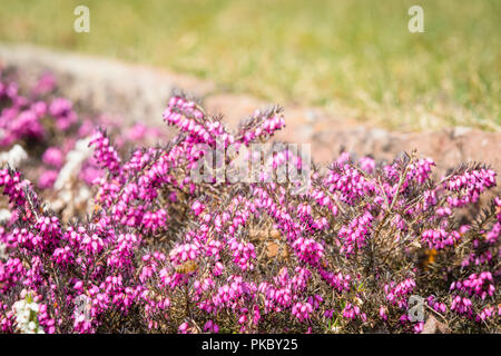 Wild heather in vibrant purple colors on a meadow in the summer - Stock Image