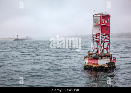 Seals on a buoy at Newport Harbour jetty. - Stock Image