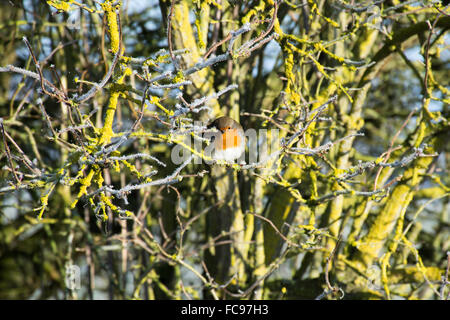 Robin sat on a Branch in a Tree - Stock Image