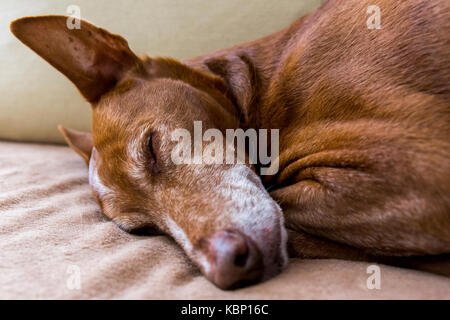 Close up to an Andalusian Hound's (Canis lupus familiaris) face. - Stock Image