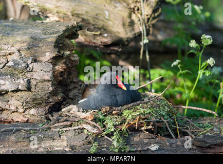 nesting Common Moorhen,(Gallinula chloropus), also known as the waterhen or the swamp chicken, Regents Canal, London, United Kingdom, British Isles - Stock Image
