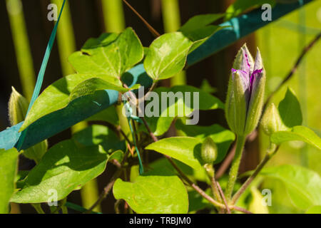 A bud on a purple clematis plant in north east Italy - Stock Image