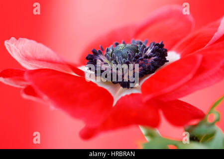 exquisite red anemone still life - red on red Jane Ann Butler Photography JABP1846 - Stock Image