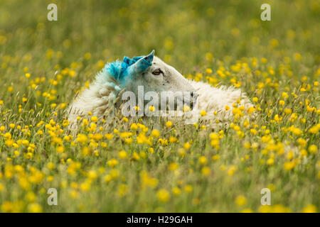 A sheep with its head marked with blue dye lies amongst the buttercups of the machair on the Island of Harris on - Stock Image