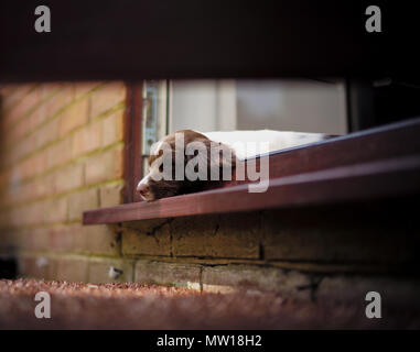 A 10 week old puppy English springer spaniel which has fallen asleep resting on a outside door frame. - Stock Image