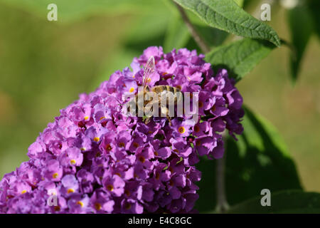 Honey bee on buddleia flower spike. Pollen basket clearly visible. - Stock Image
