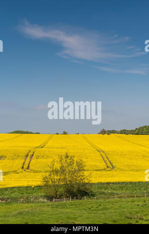 Parallel tramlines through a field of flowering oil seed rape with a willow tree in the foreground, blue sky and cirrus cloud, with copy space - Stock Image