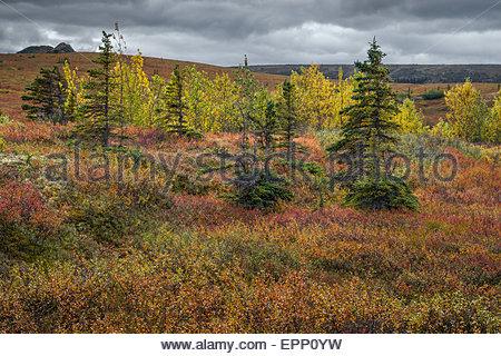 Tundra in Denali national park - Alaska (USA) - Stock Image
