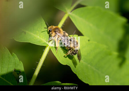 Unequal Cellophane Bees (Colletes inaequalis) mating, Toronto, Ontario, Canada - Stock Image