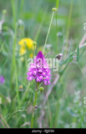 Anacamptis pyramidalis. Pyramidal orchid in a wildflower meadow. - Stock Image