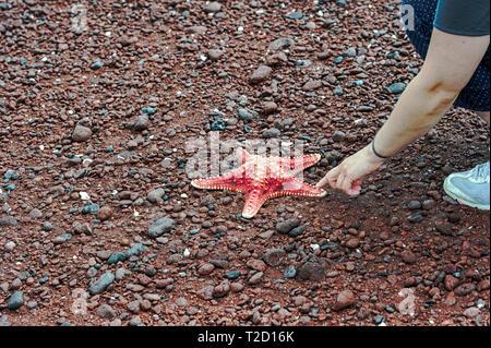 Tourist on Rabida Beach, Galapagos Islands, Ecuador examining a starfish (Asteroidea) - Stock Image