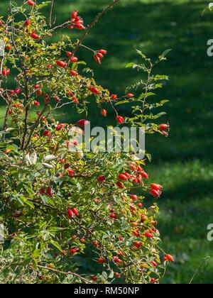 Dog rose autumn - Stock Image