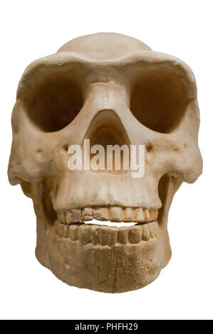 Homo Erectus skull reproduction. Isolated over white background - Stock Image