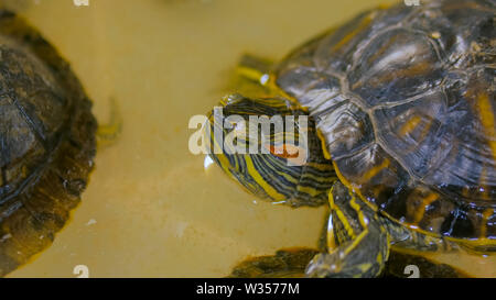Small marine turtle swiming - Stock Image