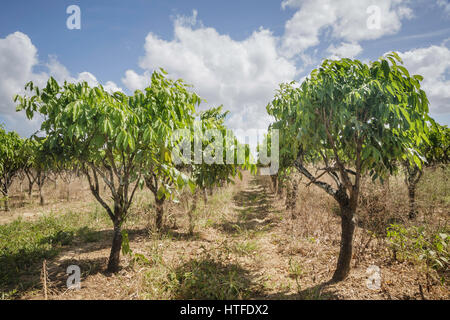 Aniseed plants in a field in in the Caroni area of Trinidad, Trinidad and Tobago - Stock Image
