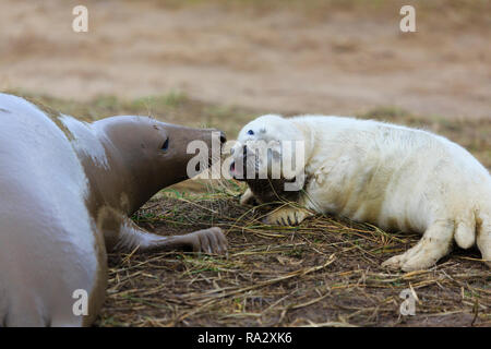 Grey seal pup and mother at Donna Nook nature reserve, Lincolnshire, England - Stock Image